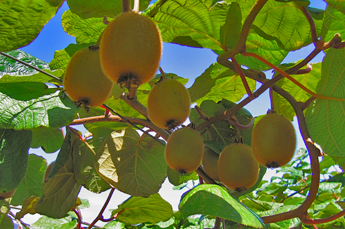 Growing organic Kiwifruit